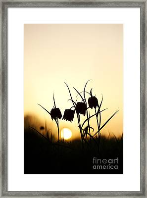 Snakes Head Fritillary Flowers At Sunset Framed Print