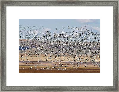 Snow Geese During Spring Migration Framed Print