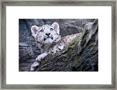 Snow Leopard Cub Framed Print by Chris Boulton
