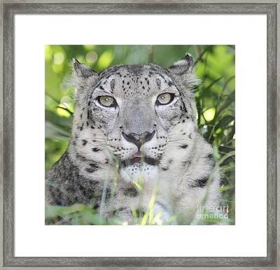 Snow Leopard Framed Print by John Telfer