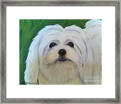 Framed Print featuring the painting Snowball - Maltese Shih Tzu by Shelia Kempf