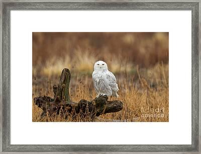 Snowy Owl Framed Print by Joshua Clark