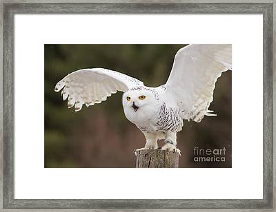 Snowy Owl Framed Print by Les Palenik