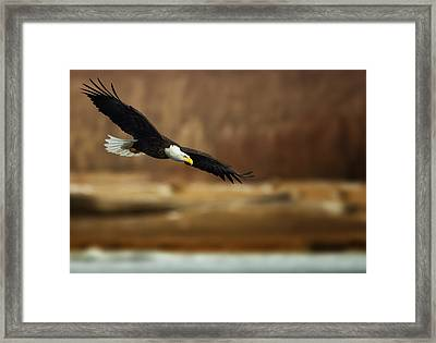Soaring Bald Eagle Framed Print