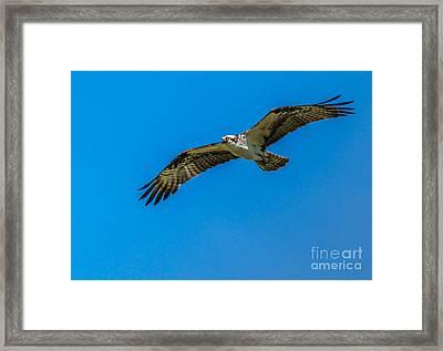 Soaring Osprey Framed Print by Robert Bales