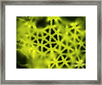 Soft Rush Stem, Light Micrograph Framed Print by Gerd Guenther