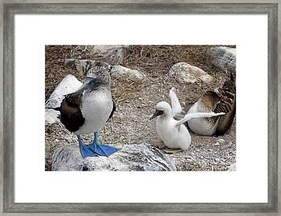 South America, Ecuador, Galapagos Framed Print by Kymri Wilt