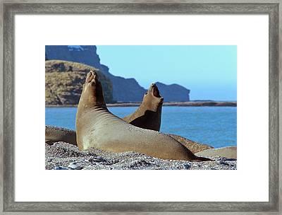 Southern Elephant Seal Female (cow Framed Print
