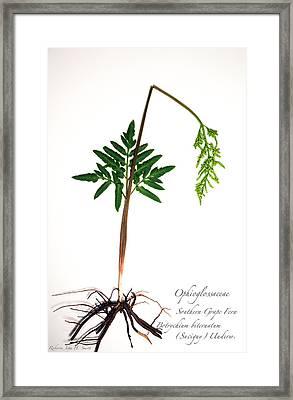 Southern Grape Fern Framed Print