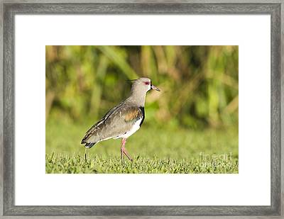 Southern Lapwing Framed Print by William H. Mullins