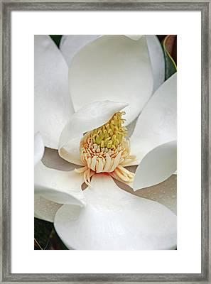 Southern Magnolia (magnolia Grandiflora) Framed Print