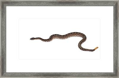 Southern Pacific Rattlesnake Framed Print by John Bell