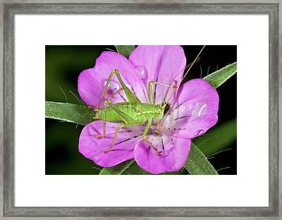 Speckled Bush-cricket On Corncockle Framed Print by Bob Gibbons