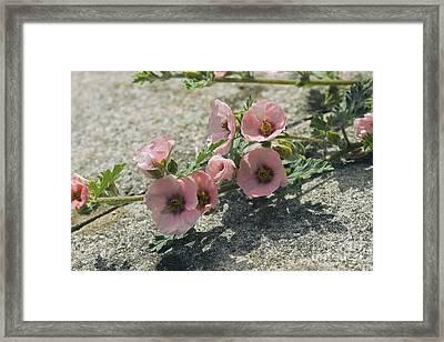 Sphaeralcea Munroana Framed Print