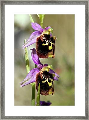 Spider Orchid (ophrys Orphanidea) Flower Framed Print by Bob Gibbons