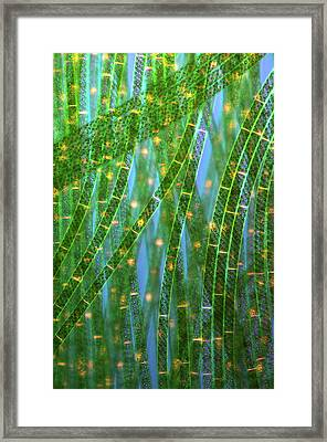 Spirogyra Algae Framed Print by Marek Mis
