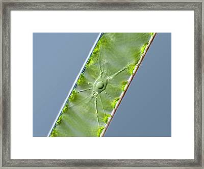Spirogyra Green Alga Framed Print by Gerd Guenther