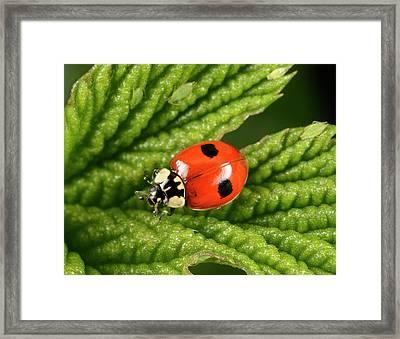 2-spot Ladybird Framed Print by Nigel Downer