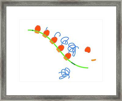 Stages Of Protein Synthesis Framed Print by Science Photo Library
