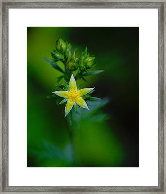Framed Print featuring the photograph Starflower by Ben Upham III