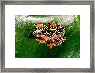Starry Night Reed Frog, Heterixalus Framed Print