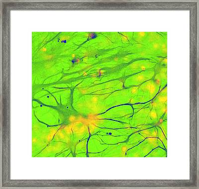 Stem Cell-derived Astrocyte Brain Cells Framed Print by Science Photo Library