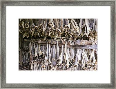 Stockfish, Norway Framed Print by Dr Juerg Alean