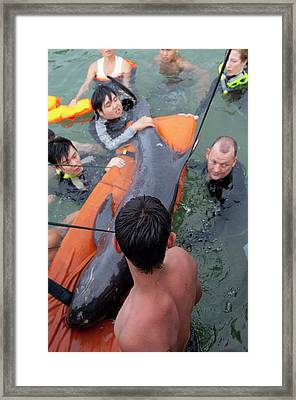 Stranded Pygmy Killerwhale Being Helped Framed Print