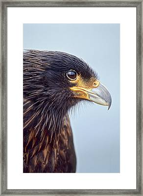 Striated Caracara Or Johnny Rook Framed Print by Martin Zwick