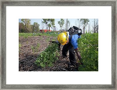 Student Removing Invasive Plants Framed Print by Jim West