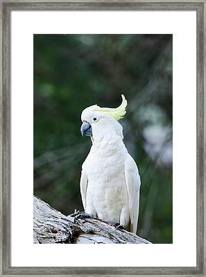 Sulfur-crested Cockatoo (cacatua Framed Print by Martin Zwick
