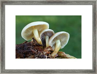 Sulphur Tuft Fungus Framed Print by Nigel Downer