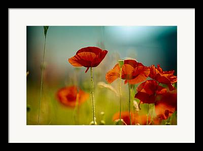 Red Poppies Framed Prints