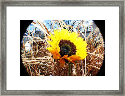 Sunflower  Framed Print by Jon Baldwin  Art