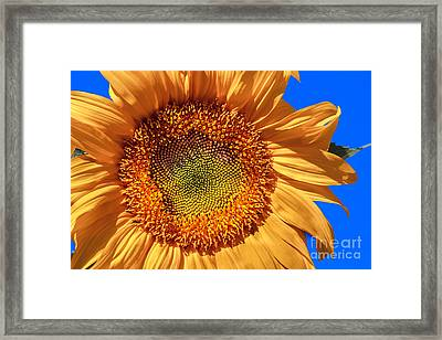 Sunflower Framed Print by Robert Bales