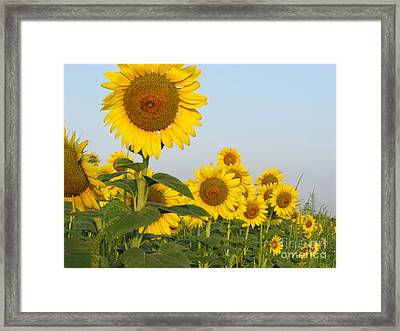 Sunflower Series Framed Print
