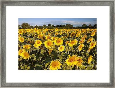 Sunflowers At Dawn Framed Print by Brian Jannsen
