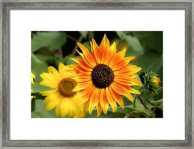 Sunflowers Framed Print by Dennis Bucklin