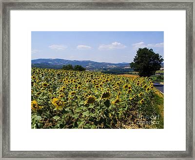 Sunflowers Framed Print by Tim Holt
