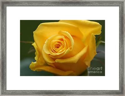 Sunny Rose 1 Framed Print by Carol Lynch