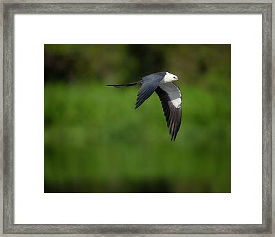 Swallow-tailed Kite In Flight Framed Print