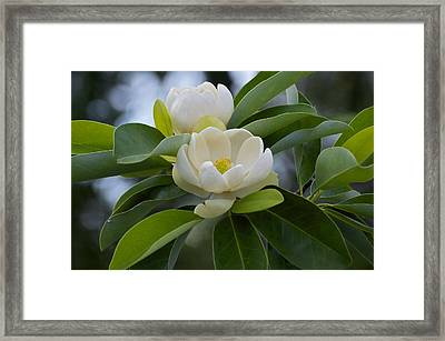 Swamp Magnolia Framed Print by Greg Vizzi