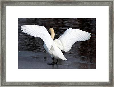 Swan Framed Print by Lori Rossi