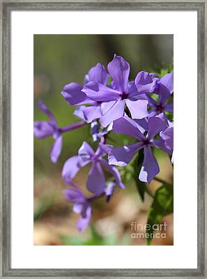 Sweet William Purple Wildflower Springtime Framed Print