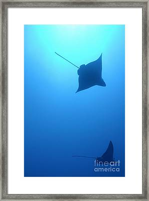 Swimming Spotted Eagle Rays Framed Print by Sami Sarkis