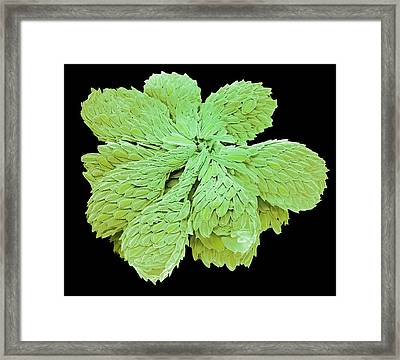 Synura Golden-brown Alga. Framed Print by Steve Gschmeissner