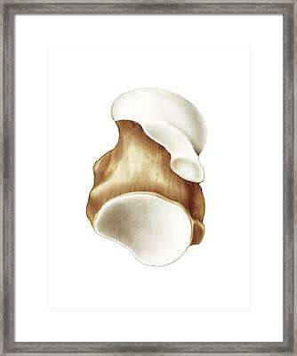 Talus Bone Framed Print