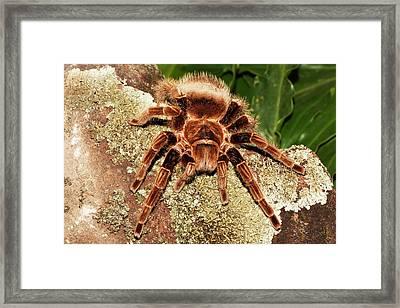 Tarantula On Rocks Framed Print by Piperanne Worcester