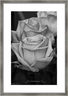 Tea Roses In Black And White Framed Print