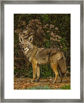 The Coyote Framed Print